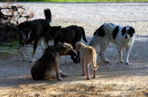 Πολλές οι καταγγελίες για τα αδέσποτα ζώα στην Αλεξανδρούπολη